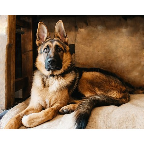 Deimantinis paveikslas Shepherd WD184 48*38 cm