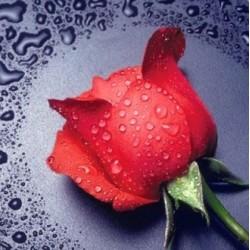 Deimantinis paveikslas Red Rose AZ-14 Dydis: 22х24